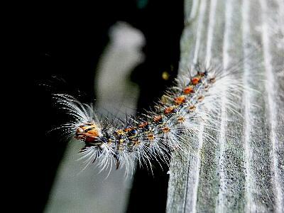 m515マイマイガの幼虫