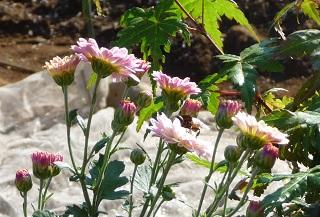 m526 アブと花