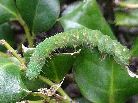 フタトガリコヤガ(幼虫)